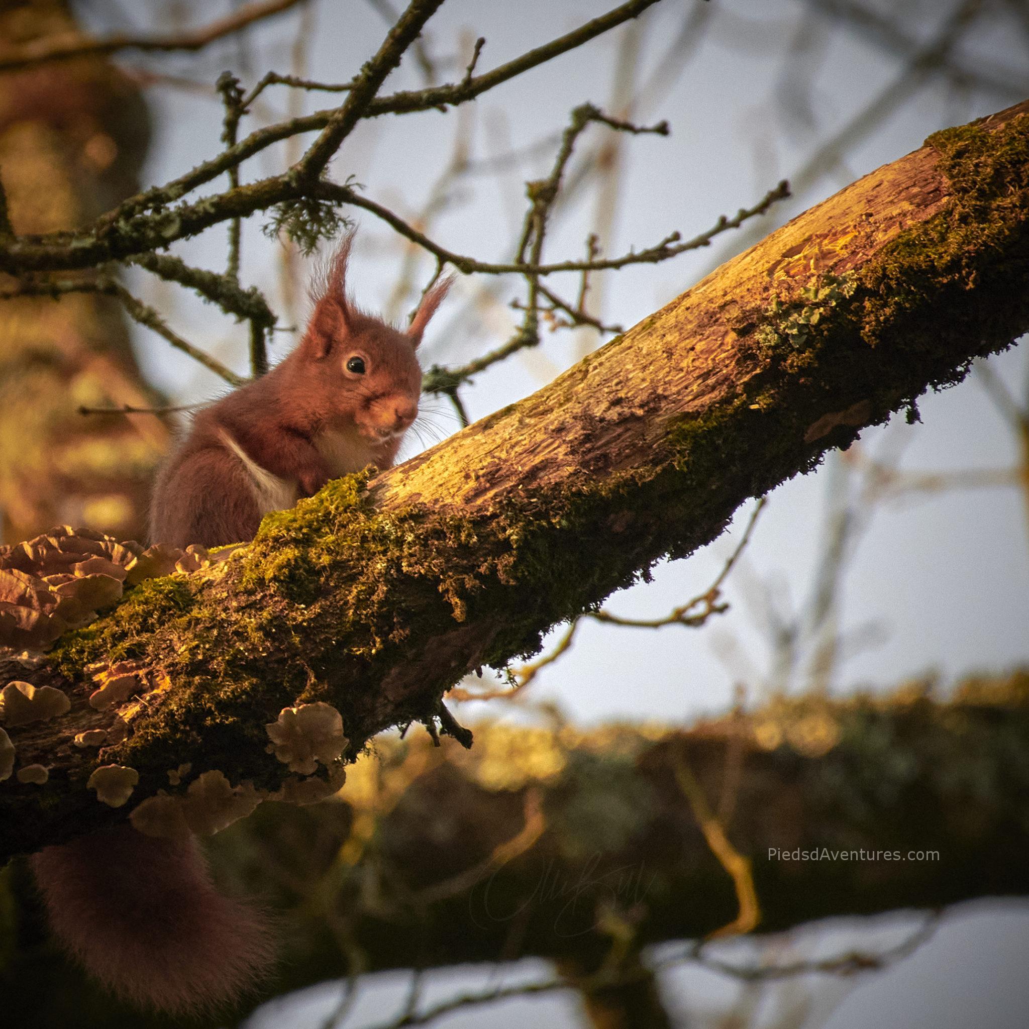 Photo animalière écureuil roux