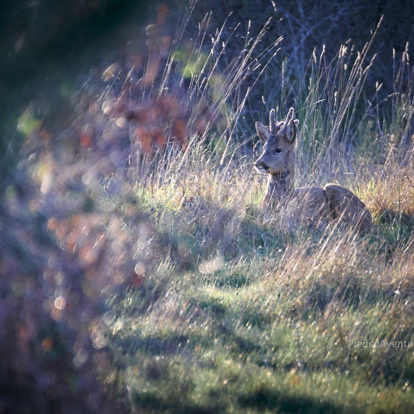 Photo animalière chevreuil
