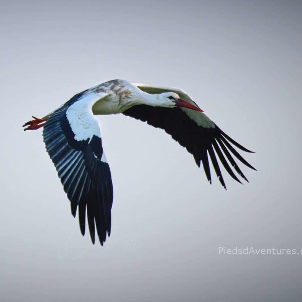 Photo animalière vol cigogne vendée